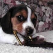 Sir Eatsalot (Beagle)