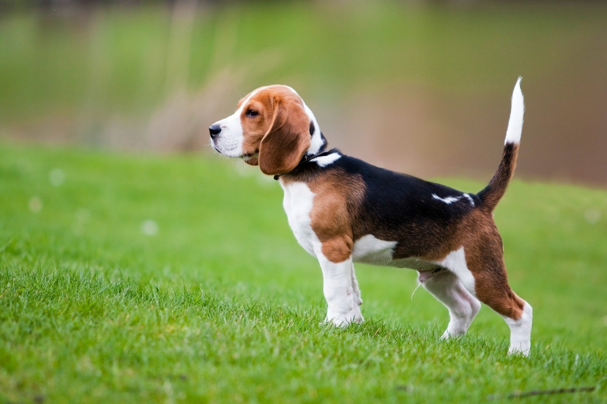 Beagle Breed Information And Photos