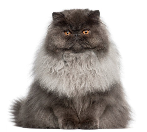 Reducing Your Cat S Shedding Thriftyfun
