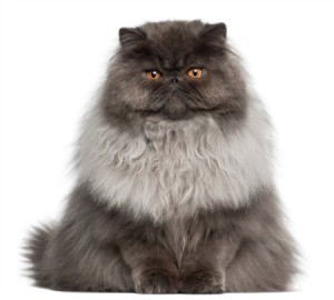 A Persian cat with long hair.