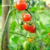Supporting Tomato Plants