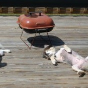 White Pomeranians laying on a deck.