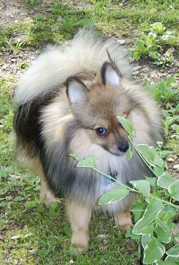 Pomeranian on the grass.