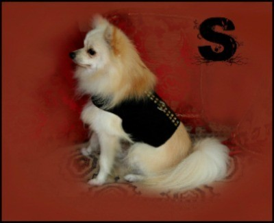 Skippy, a blonde Pomeranian sitting on a red sofa.