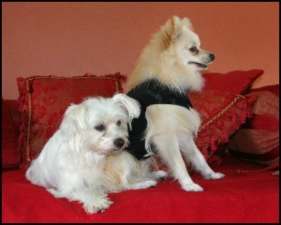 Two small dogs sitting on a red sofa.