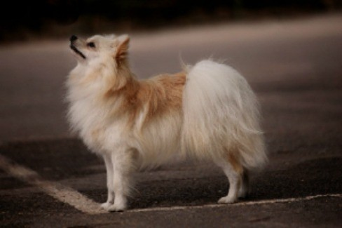Pomeranian standing on the street looking up.