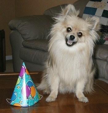 Cream Pomeranian sitting with a birthday hat.
