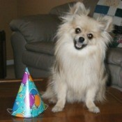 Cream Pomeranian sitting with a birthday hat.