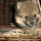 Pomeranian in a wicker dog bed.