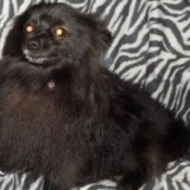 Buddy (Pomeranian)