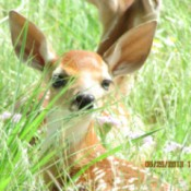 Baby Fawn at Rest
