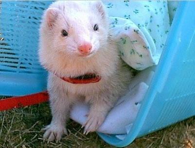 Theodore (Ferrets)