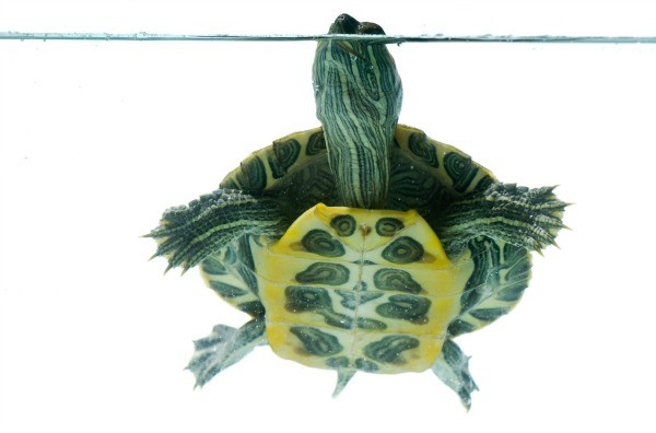 Solutions for a cloudy turtle tank thriftyfun for Cloudy water in fish tank solutions