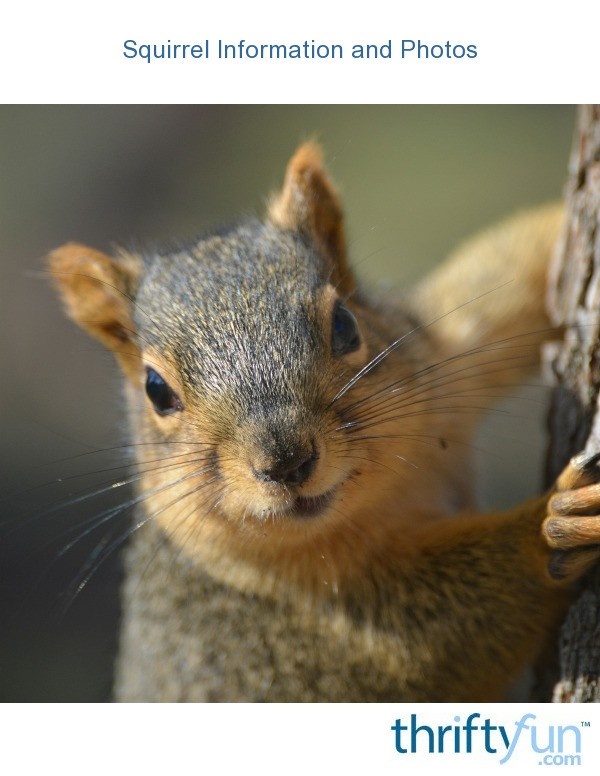 Squirrel Information And Photos