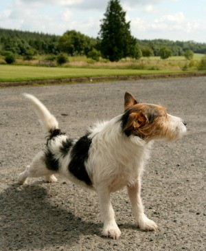 A dog standing on a driveway.