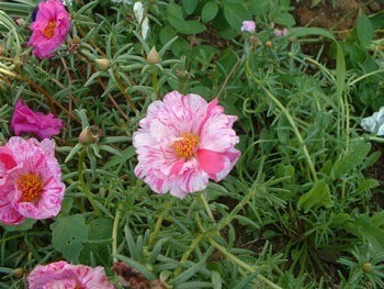 Pink and white flower.