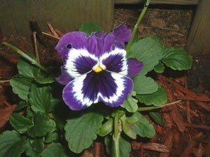 Purple and white pansy.