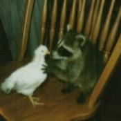Sam (Raccoon)