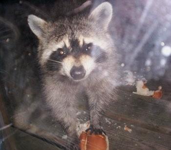 A raccoon looking straight ahead at night.