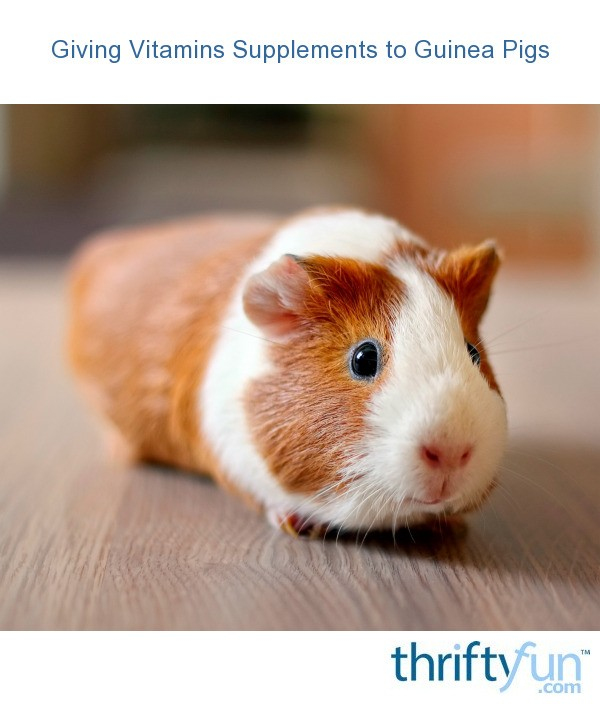 Giving Vitamin Supplements To Guinea Pigs Thriftyfun
