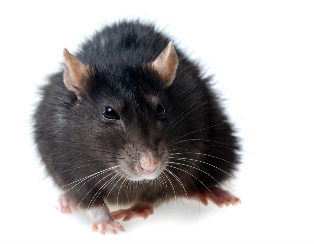 Homemade Rat Bait Ideas | ThriftyFun