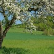 Growing Apple Trees