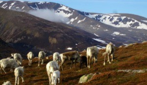 Scottish Reindeer (Caringorm Mountains, Scotland)
