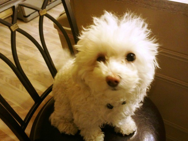 Maltipoo Maltese Poodle Breed Information And Photos