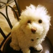 Maltipoo (Maltese Poodle)