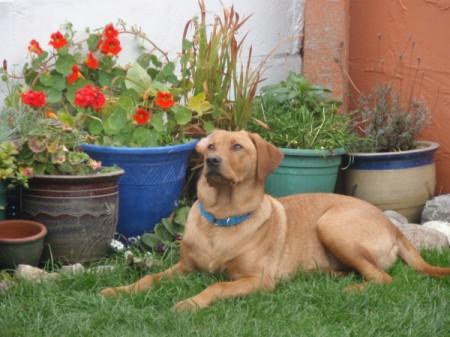 Ted (Labrador)