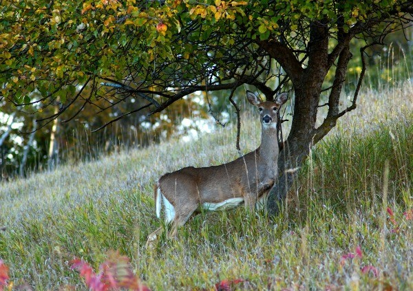 Protecting Fruit Trees From Deer Thriftyfun