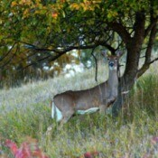 A deer standing in an orchard.
