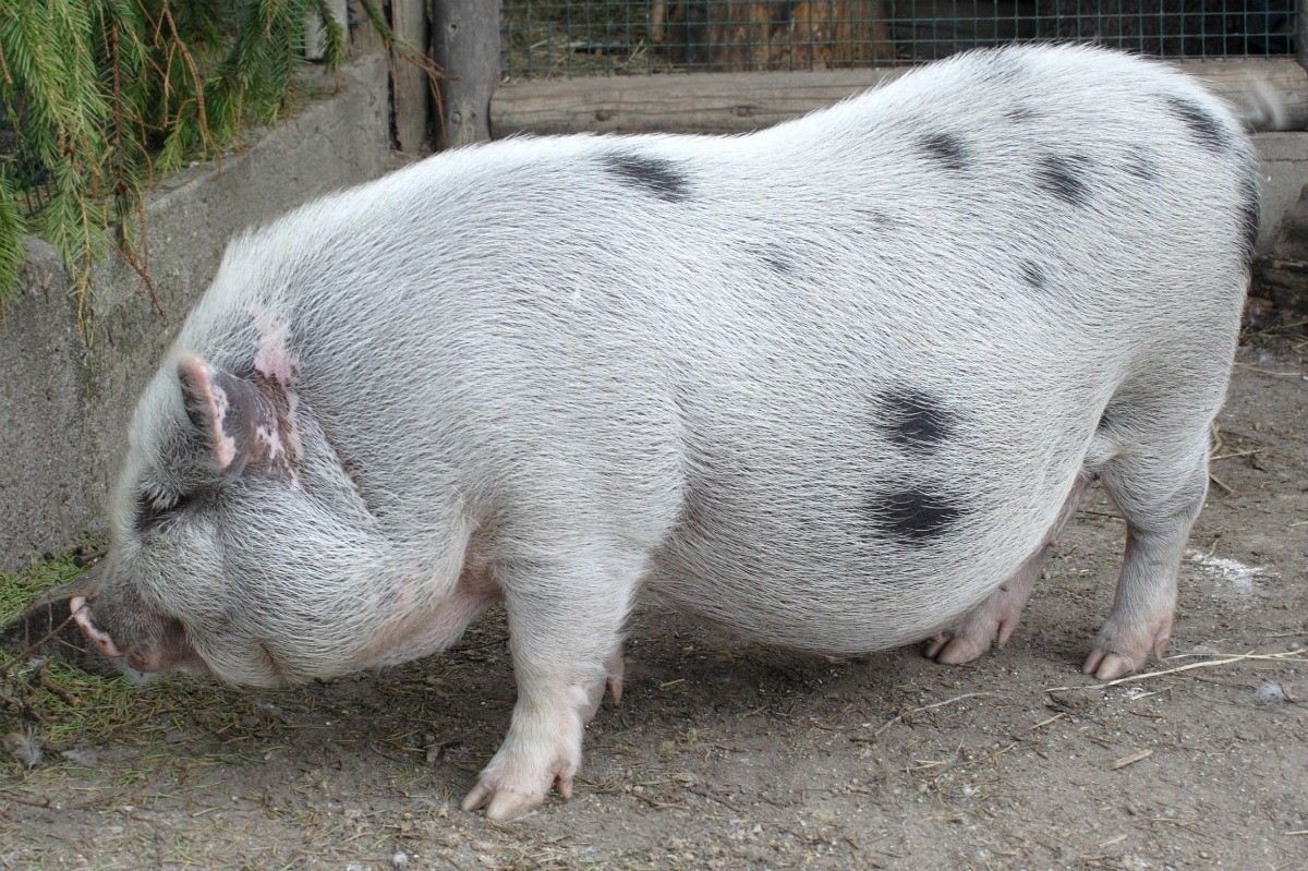 Pot Bellied Pig Information And Photos Thriftyfun