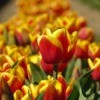 Orange and yellow tulip bulbs.
