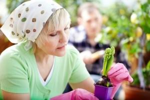 A woman plantain a Hyacinth bulb.