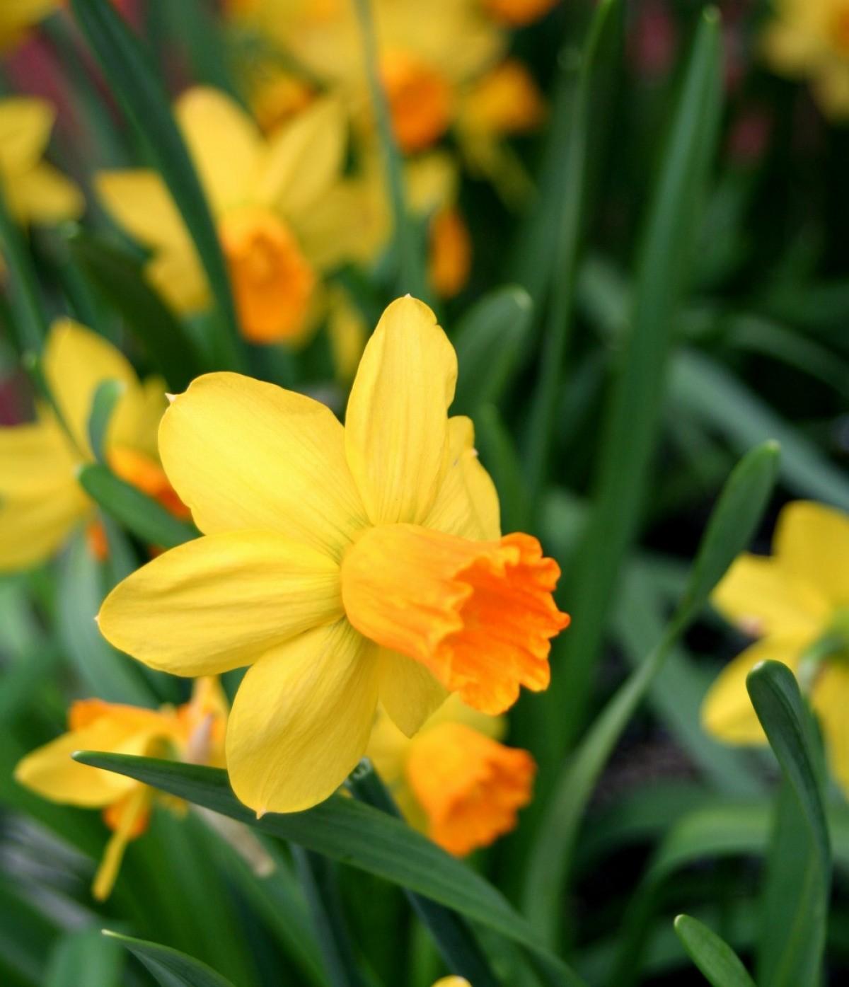 daffodil - photo #23