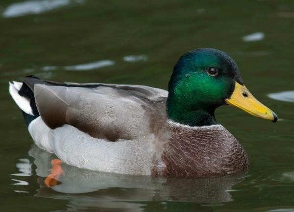 how to clean a mallard duck