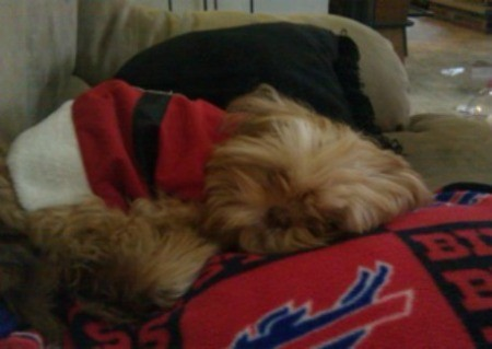 Teddy (Shih Tzu) - Blonde colored dog in a Santa coat, sleeping