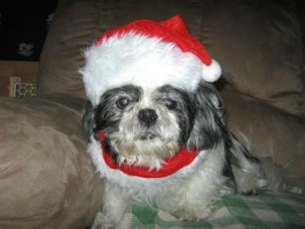 Luckie (Shih Tzu) - Elderly dog in a Santa hat.