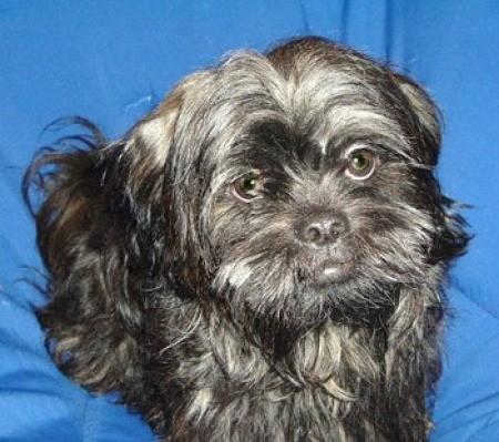 Chewie (Shih Tzu) - Black dog with a blue backdrop.
