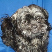 Chewie (Shih Tzu) - Black dog with a blue backdrop.