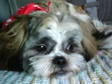 Zeus (Shih Tzu) - close up of dogs face.