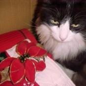 Kitty Boy (Tuxedo Cat)