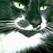 Sylvester (Tuxedo Cat)