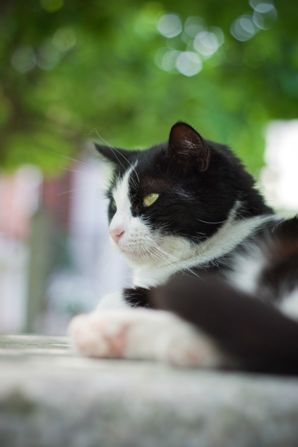 Is It Possible To Breed Tuxedo Cats