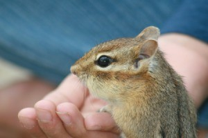 Hand feeding a rescued chipmunk.