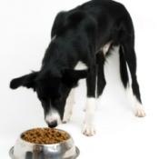 A skinny dog eating.