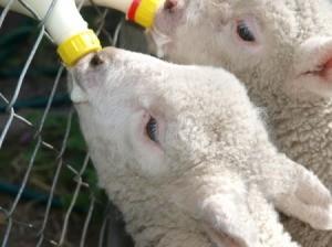 Baby Lambs Eating