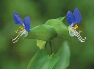Commelina communis (Asiatic Dayflower)