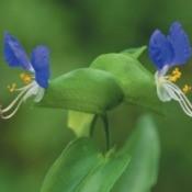 Commelina communis (Asiatic Dayflower)